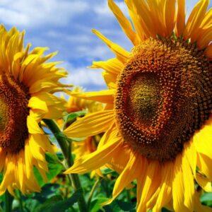 [:ru]Семена подсолнечника Алексей[:ua]Насіння соняшника Алексей[:]