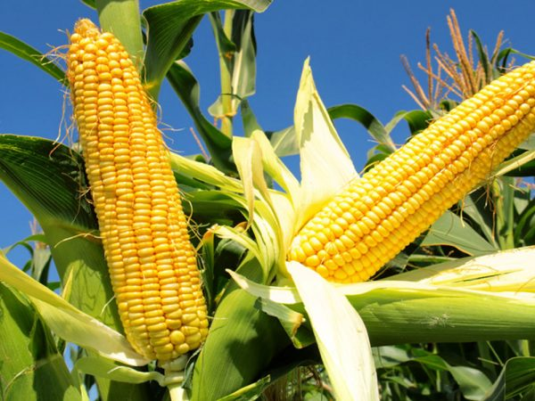 Семена кукурузы Амарок 300