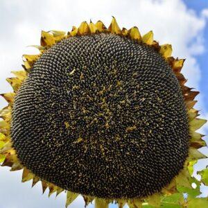 [:ru]Семена подсолнечника ЕС Амис СЛ[:ua]Насіння соняшника ЕС Аміс СЛ[:]