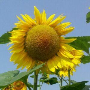 Насіння соняшника Антей PRO