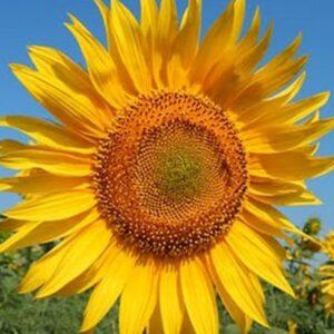 Насіння соняшника Антей