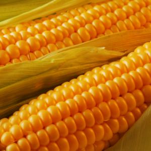 Семена кукурузы Аргентум