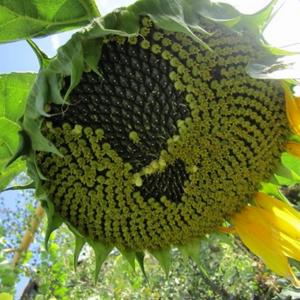 [:ru]Семена подсолнечника Аризона[:ua]Насіння соняшника Арізона[:]