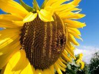 Семена подсолнечника Имерия
