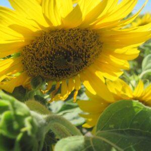 [:ru]Семена подсолнечника ЕС Артик[:ua]Насіння соняшника ЕС Артік[:]