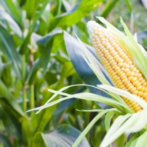 [:ru]Семена кукурузы Аттракт[:ua]Насіння кукурудзи Аттракт[:]