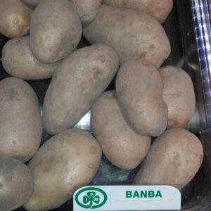 [:ru]Семенной картофель Банба[:ua]Насіннєва картопля Банба[:]