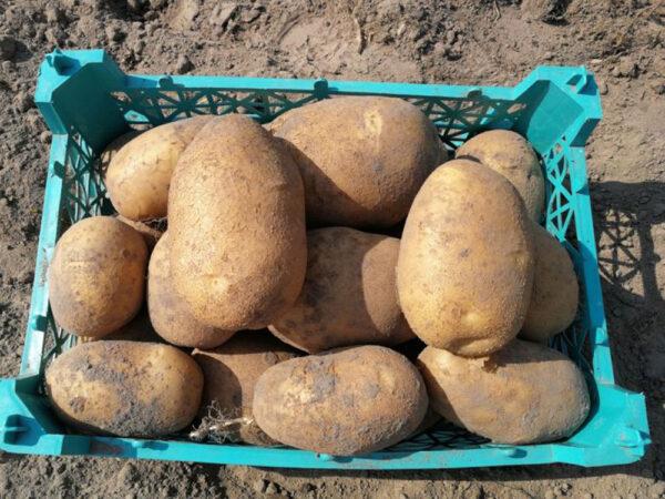 Семенной картофель Банба(1 репродукция)