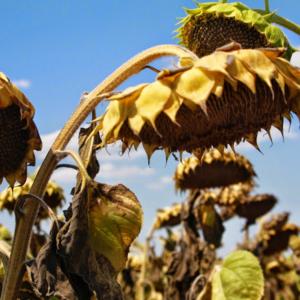 [:ru]Семена подсолнечника Баяно[:ua]Насіння соняшника Баяно[:]
