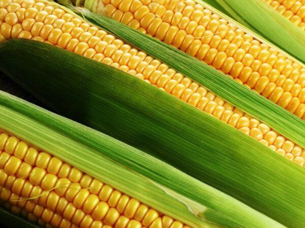 Семена кукурузы Белозерский 295 СВ