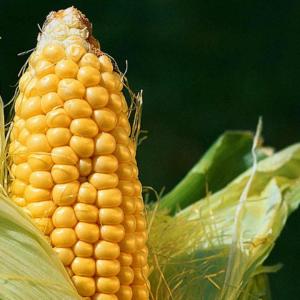 Семена кукурузы ДН Берека