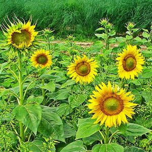 [:ru]Семена подсолнечника Бомбардиер (Равенна)[:ua]Насіння соняшника Бомбардієр (Равенна)[:]