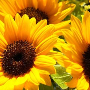 [:ru]Семена подсолнечника Бонд[:ua]Насіння соняшника Бонд[:]