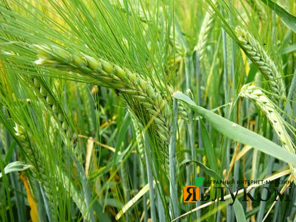 Семена озимого ячменя Борисфен