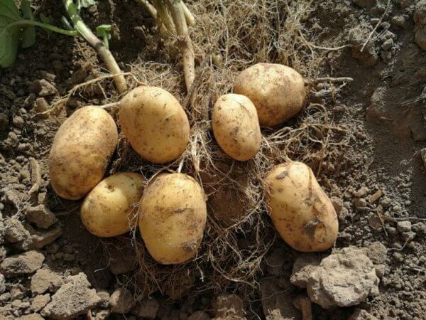 Семенной картофель Бюррен