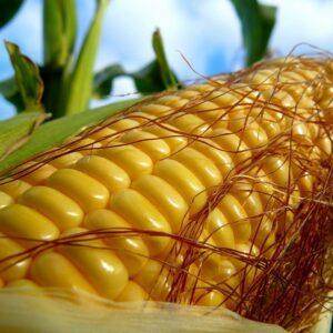 [:ru]Семена кукурузы ЕС Конкорд[:ua]Насіння кукурудзи ЕС Конкорд[:]