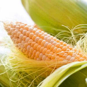[:ru]Семена кукурузы ДК 315[:ua]Насіння кукурудзи ДК 315[:]