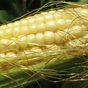 Семена кукурузы ДК 440