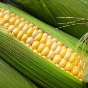 [:ru]Семена кукурузы ДКС 4795[:ua]Насіння кукурудзи ДКС 4795[:]