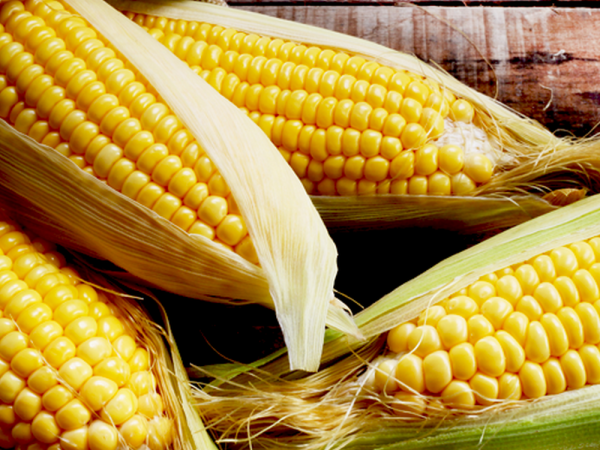 Семена кукурузы ДН Аншлаг