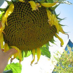Семена подсолнечника СИ Эденис
