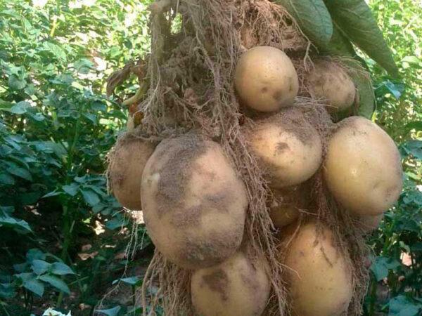 Семенной картофель Электра (Элита/импорт)
