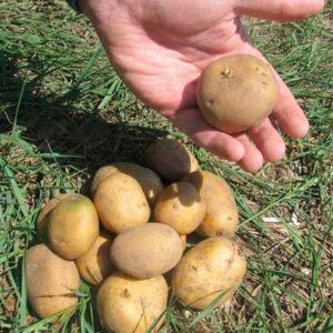 Семенной картофель Электра