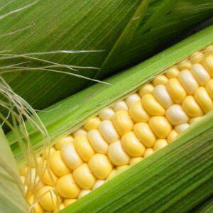 [:ru]Семена кукурузы ЕС Эпилог[:ua]Насіння кукурудзи ЕС Епілог[:]
