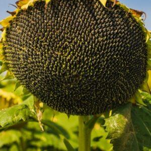 Семена подсолнечника Эстрада