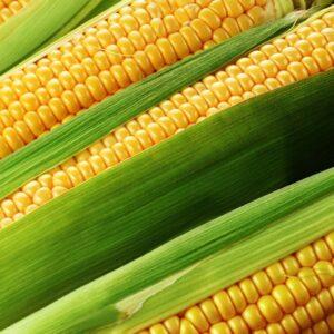 [:ru]Семена кукурузы ЕС Евростар[:ua]Насіння кукурудзи ЕС Євростар[:]