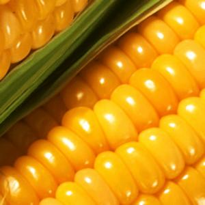 [:ru]Семена кукурузы ЕС Гарант[:ua]Насіння кукурудзи ЕС Гарант[:]
