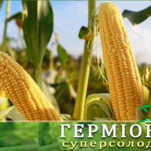 Сахарная кукуруза Гермиона (Юрмала)