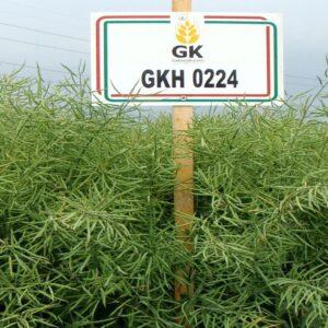 [:ru]Семена рапса ГКХ 0224[:ua]Насіння ріпаку ГКХ 0224[:]