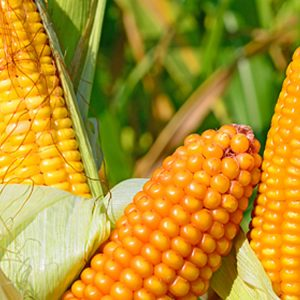 [:ru]Семена кукурузы Гран 1 [:ua]Насіння кукурудзи Гран 1 [:]