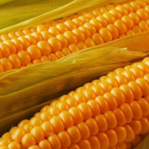 [:ru]Семена кукурузы Гран 220 [:ua]Насіння кукурудзи Гран 220 [:]