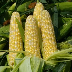 [:ru]Семена кукурузы Гран 310[:ua]Насіння кукурудзи Гран 310[:]