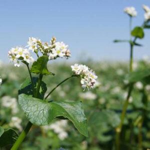 Семена гречихи Харьковская 30