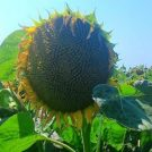 [:ru]Семена подсолнечника НС Имисан[:ua]Насіння соняшнику НС Имисан[:]