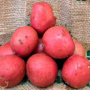 Семенной картофель Инфинити
