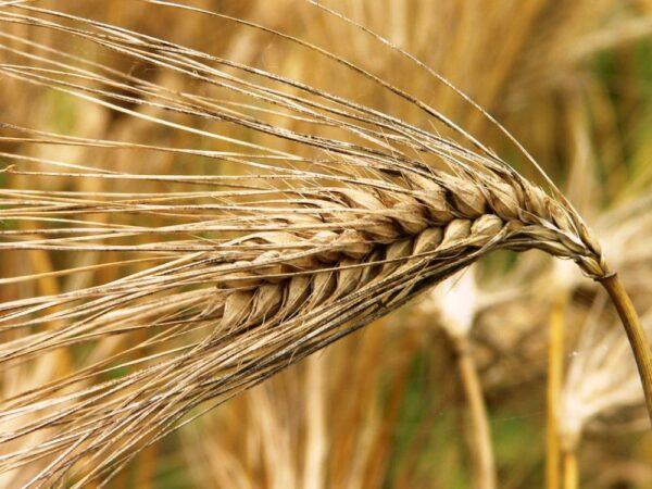 Семена озимого ячменя Атлант Мироновский