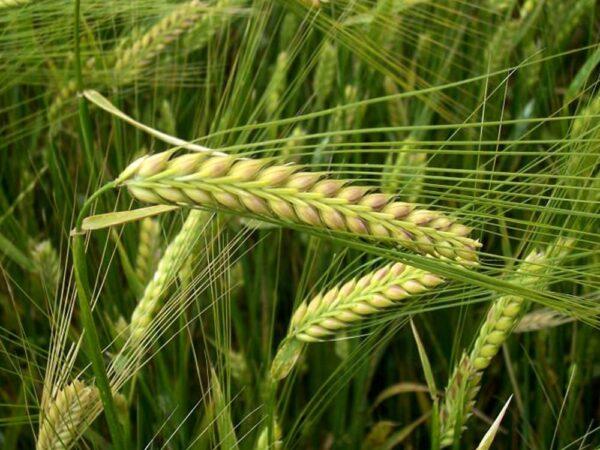 Семена озимого ячменя Паладин Мироновский