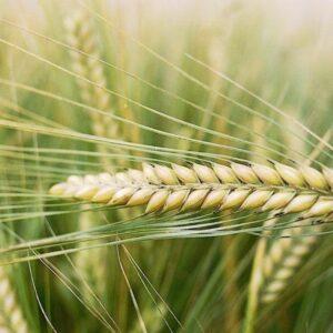 Семена ярого ячменя Парнас