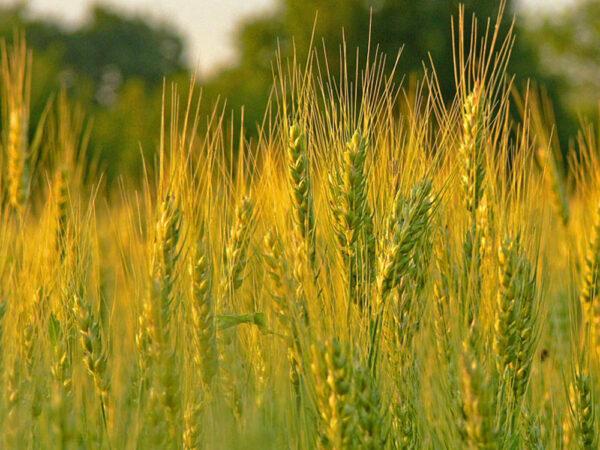 Семена ярого ячменя Здобуток