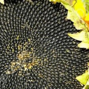 Семена подсолнечника СИ Кадикс