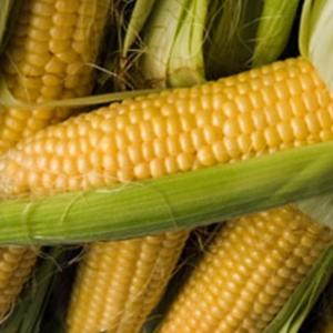 [:ru]Семена кукурузы Кодивал[:ua]Насіння кукурудзи Кодівал[:]