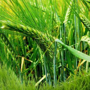 [:ru]Семена озимого ячменя Ковчег[:ua]Насіння озимого ячменю Ковчег[:]