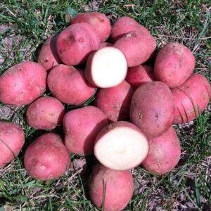 [:ru]Кристина[:ua]Насіннєва картопля Крістіна[:]