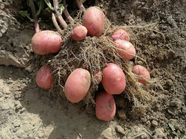 Семенной картофель Кристина