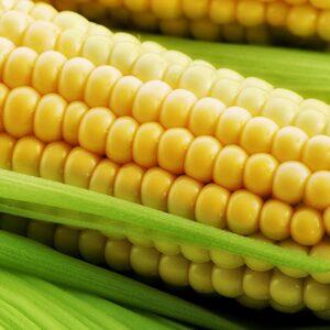 [:ru]Семена кукурузы ЕС Кубус[:ua]Насіння кукурудзи ЕС Кубус[:]