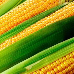 [:ru]Семена кукурузы Латизана[:ua]Насіння кукурудзи Латізана[:]